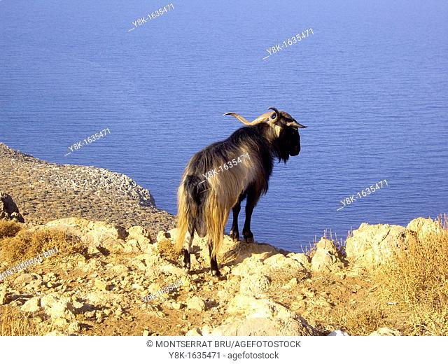 Long coat goat on top of a cliff in the way to Gramvousa, Crete overlooking the sea below