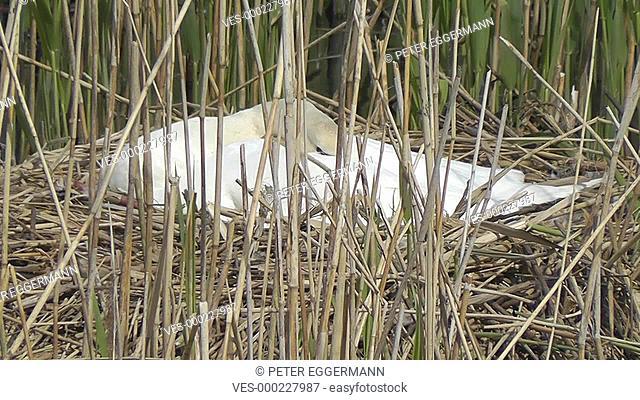 Swan, the breed - Cygnini - Schwan beim br?ten - Cygnini