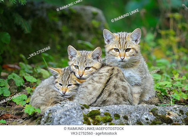 Wildcat, Felis silvestris, three Kittens, Germany