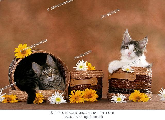 2 Maine Coon Kitten in baskets