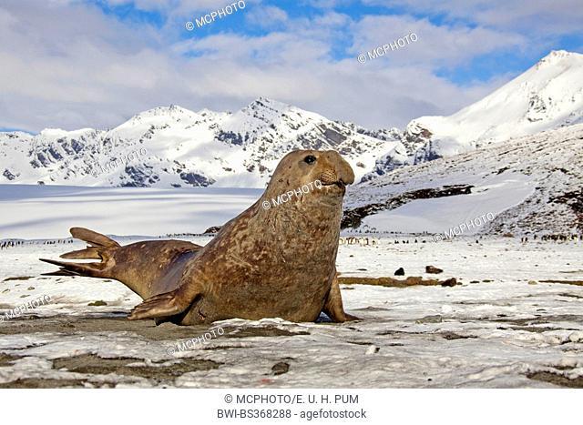 southern elephant seal (Mirounga leonina), elephant seal in the Antarctica, Antarctica, Suedgeorgien, Fortuna Bay
