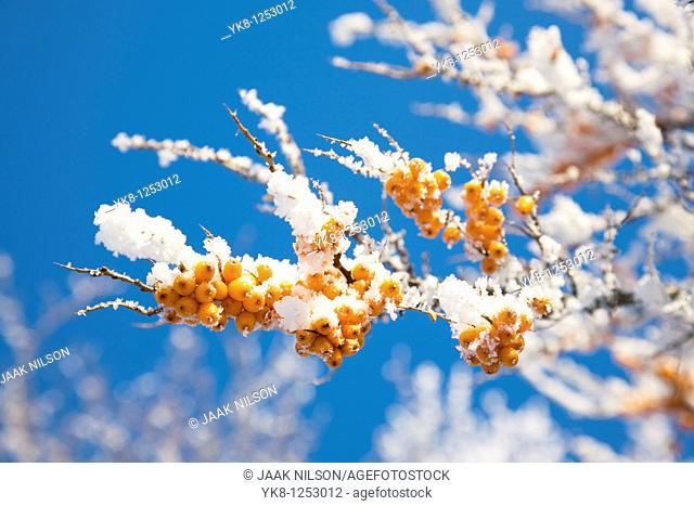 Sea Buckthorn covered snow
