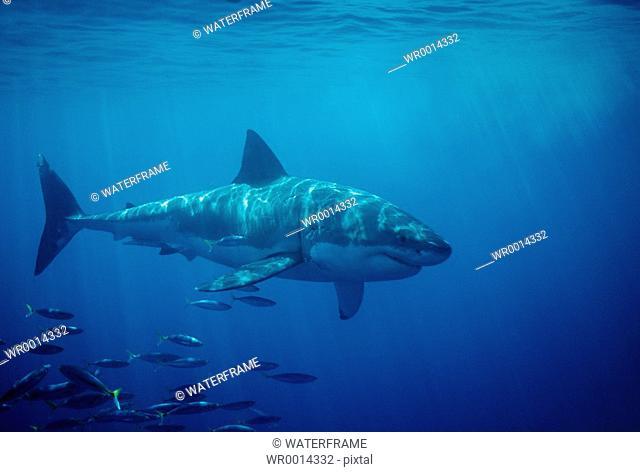 Great White Shark, Carcharodon carcharias, Gansbaai, Atlantic Ocean, South Africa