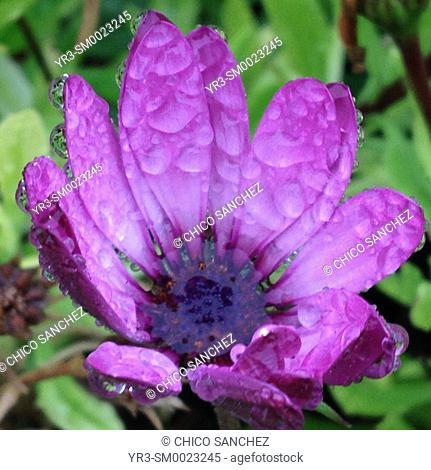 Rain drops cover a purple flower in Peña de Bernal, Queretaro, Mexico