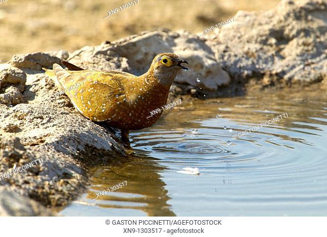 Namaqua Sandgrouse Pterocles namaqua - Male, in the waterhole, Mabuasehube, Kgalagadi Transfrontier Park, Kalahari desert, Botswana