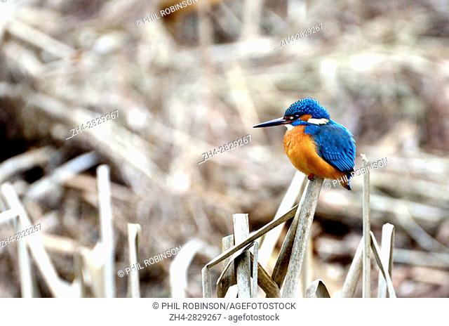 Kingfisher (Alcedo atthis) Kent (Loose Village, near Maidstone) UK. January