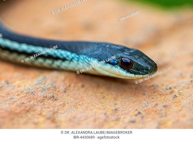 Snake (Dromicodryas quadrilineatus) near Ambositra, Central Highlands, Madagascar