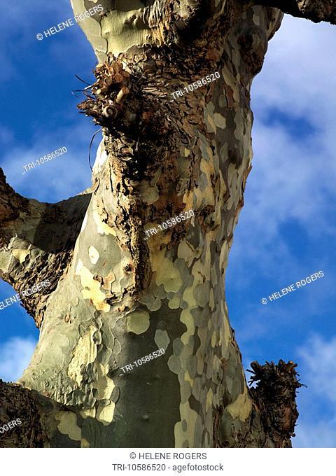 Plane Trees Wimbledon London England