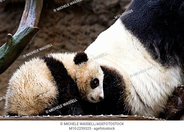 A seven month old Giant Panda Cub near its mothers back end