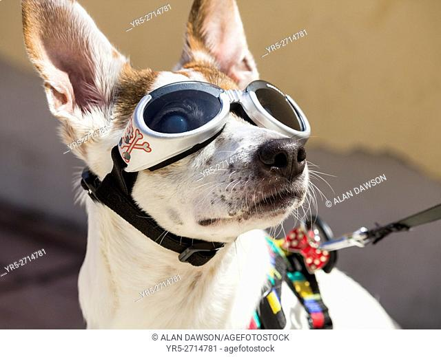 Las Palmas, Gran Canaria, Canary Islands, Spain. Dog wearing UV protection goggles to protect sensitive eyes from strong sunlight