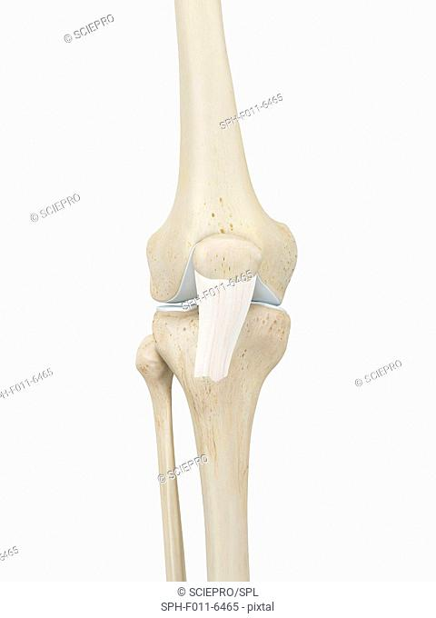 Human knee joint, computer illustration