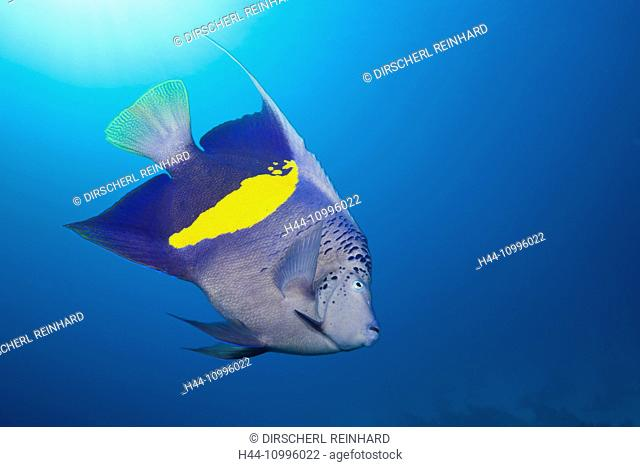 Yellowbar Angelfish, Pomacanthus maculosus, Red Sea, Dahab, Egypt