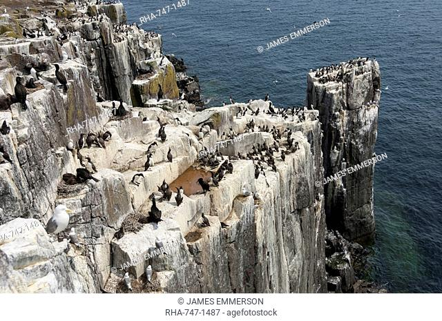 Guillemots, kittiwakes and shags on the cliffs of Staple Island, Farne Islands, Northumberland, England, United Kingdom, Europe