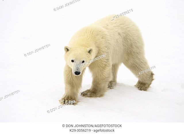 Polar Bear (Ursus maritimus) Yearling cub with mother close by, Wapusk NP, Cape Churchill, Manitoba, Canada