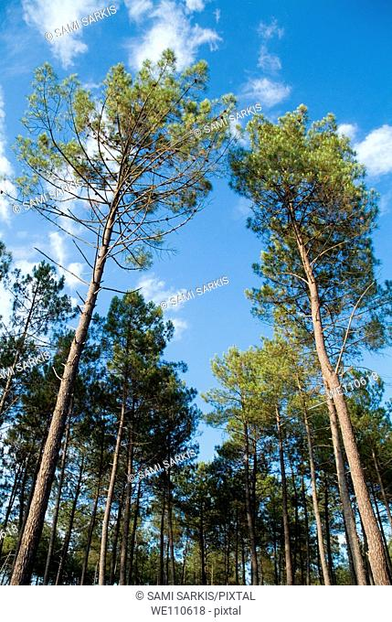 Pine trees against a cloudy sky, Landes Forest, Aquitaine, France