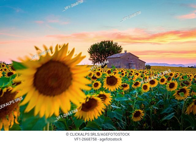 Valensole Plateau, Provence, France. Field full of sunflowers at sunset, lonely farmhouse