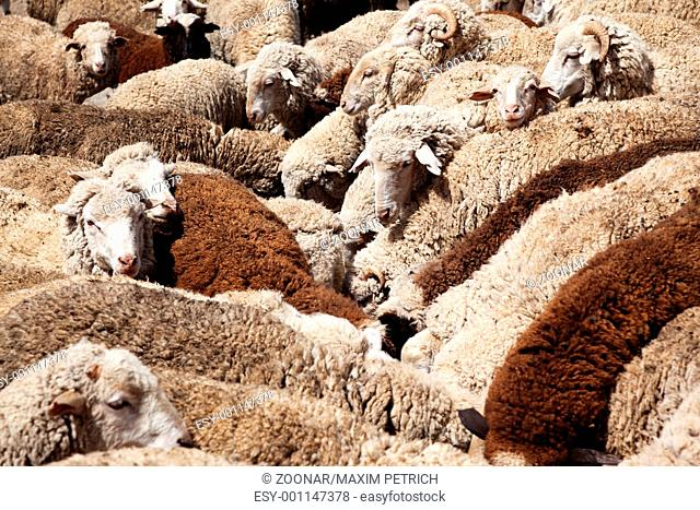 Sheep Watering
