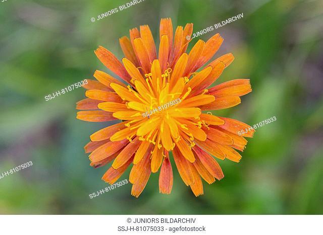 Orange Hawkweed (Hieracium aurantiacum), single flower. Austria