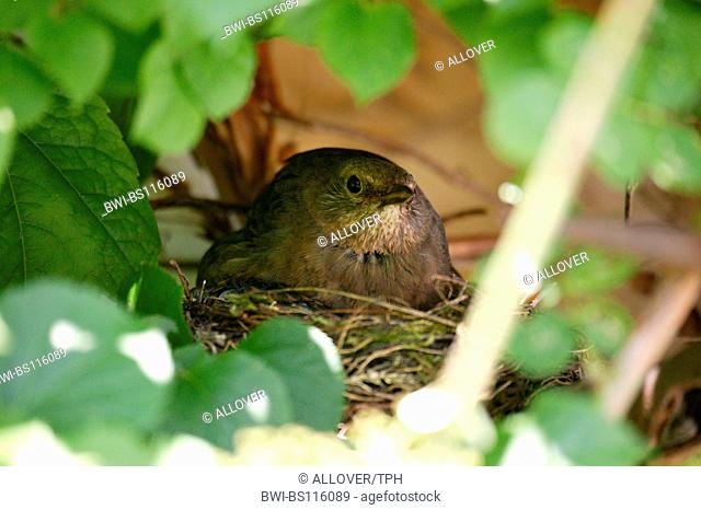 blackbird (Turdus merula), female breeding
