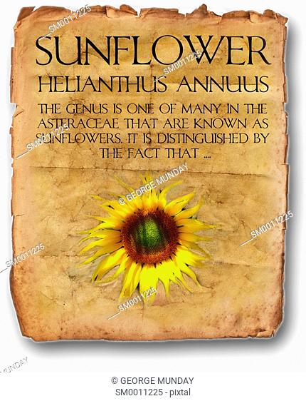 Old Manuscript referencing The Sunflower,