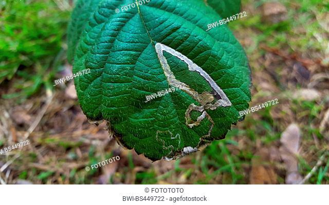 shrubby blackberry (Rubus fruticosus), leaf with feeding tunnel, Germany