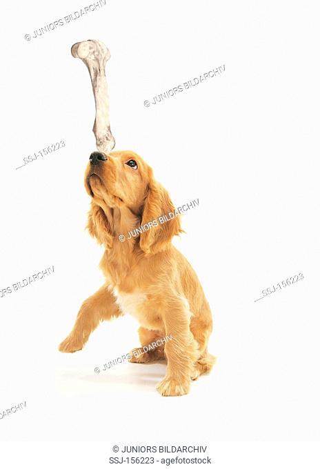 Cocker Spaniel dog - puppy balancing bone