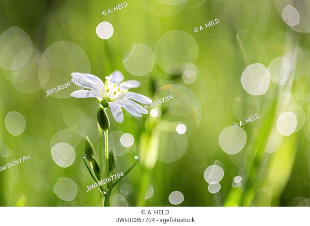 easterbell starwort, greater stitchwort (Stellaria holostea), with refelction of dewdrops on the grass, Germany, Baden-Wuerttemberg