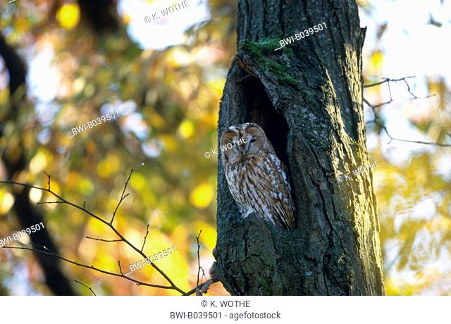 Eurasian tawny owl (Strix aluco), looking out of a tree hollow, Germany