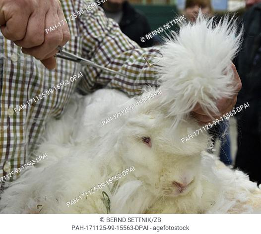 Breeder Brita Knappe from Bernau presents how to shear an Angora rabbit at the state association show of the rabbit breeders in Paaren/Glien, Germany