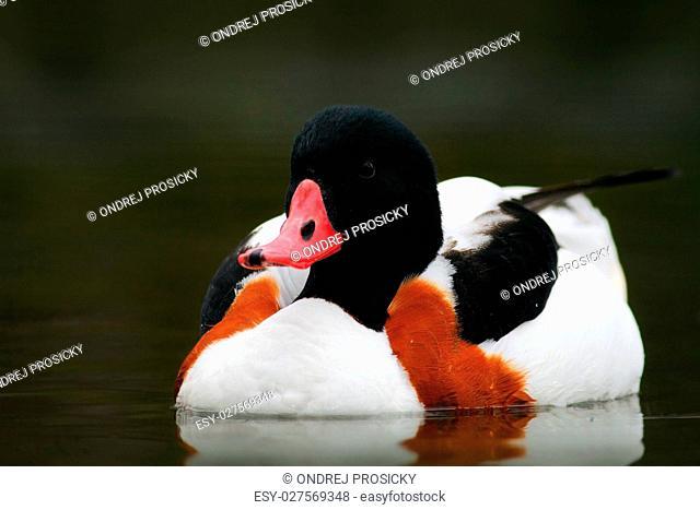 Bird in the water. Common Shelduck, Tadorna tadorna