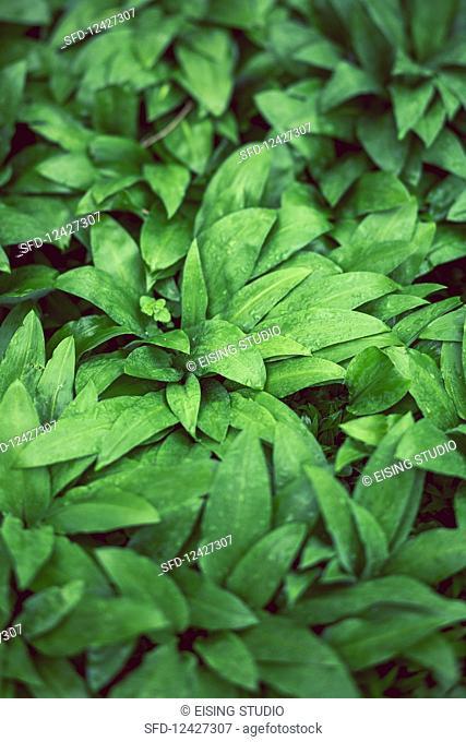 Ramsons (wild garlic) in a wood