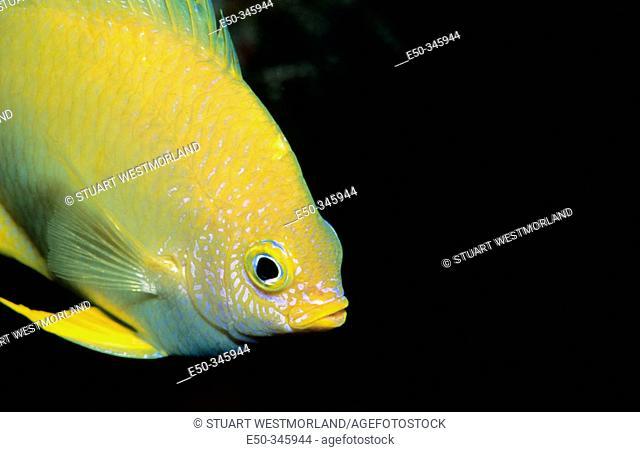 Golden Damsel (Amblyglyphidodon aureus), Great Barrier Reef