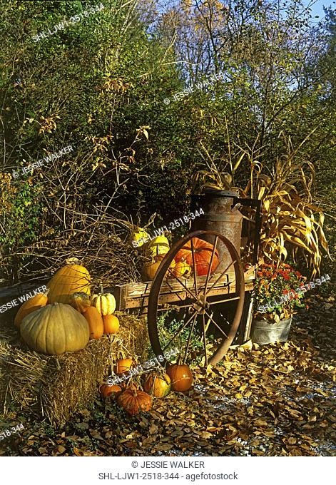 SEASONS - FALL: Pumpkins, hay bale, antique wagon with rusty wheel, corn stalks, brown leaves on ground