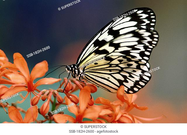 Idea Durville Tropical Butterfly Indo- Australian