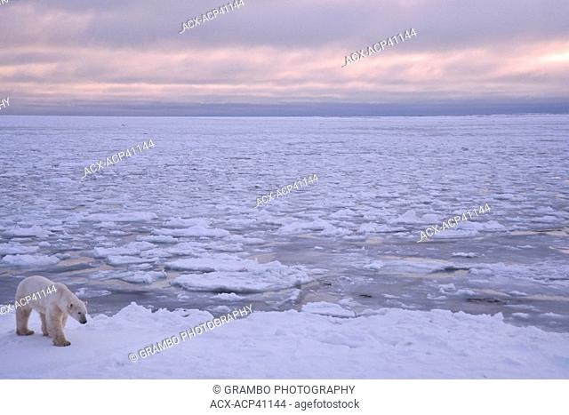 Polar bear, Ursus maritimus, on ice by ocean, November, Near Churchill, Manitoba, Canada