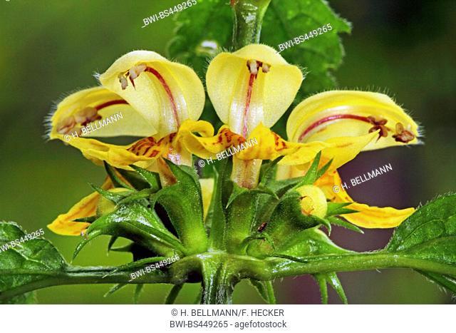 Yellow dead-nettle, Yellow Archangel, artillery plant, aluminium plant (Lamium galeobdolon, Galeobdolon luteum, Lamiastrum galeobdolon), flowers, Germany