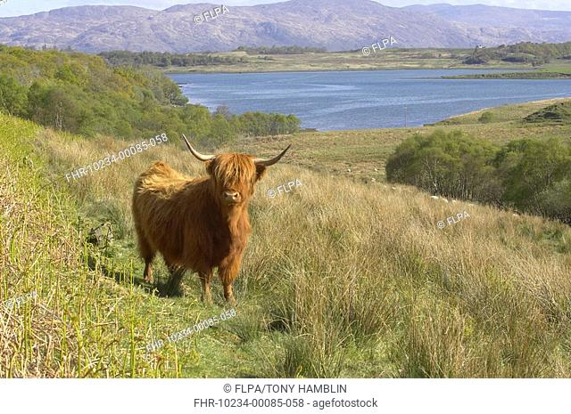Highland Cattle, adult standing in landscape, Isle of Mull, Scotland, spring