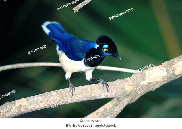 plush-crested jay Cyanocorax chrysops, sitting on twig, Brazil, Mato Grosso, Pantanal