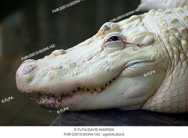 American Alligator (Alligator mississipiensis) leucistic adult, close-up of head, Florida, U.S.A., June (captive)