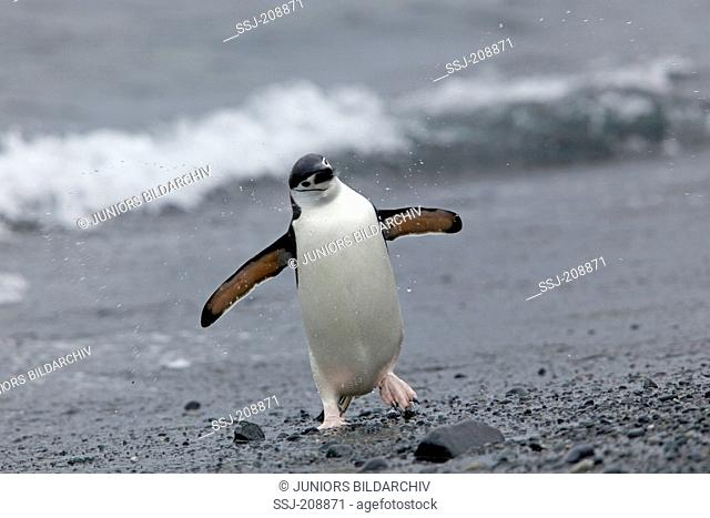 Chinstrap Penguin (Pygoscelis antarctica). Adult bird walking ashore. Antarctic Peninsula. No exclusive sales !