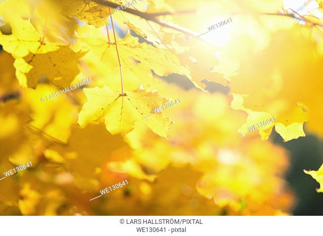 Nature detail of colorful fall foliage with yellow leaves, Sweden