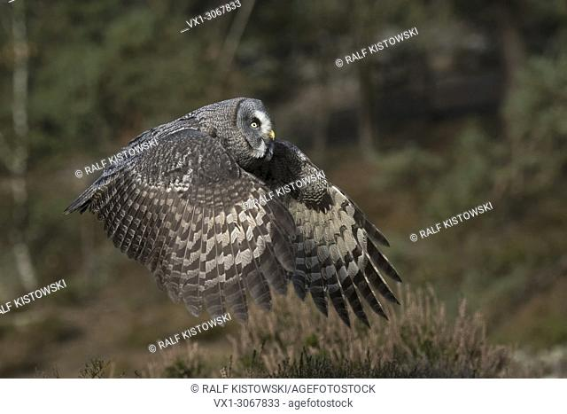Great Grey Owl ( Strix nebulosa ) in flight, beating its wings, in nice surrounding of a boreal forest, typical habitat