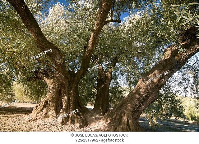 The Estaca Grande -300 year old olive tree, Martos, Jaen province, Region of Andalusia, Spain, Europe