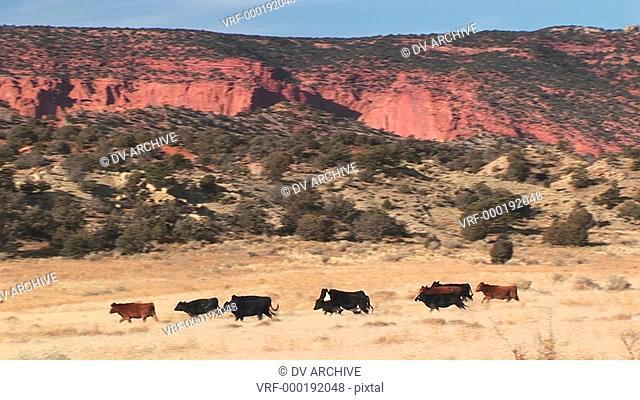 A herd of cows run across a Utah desert landscape
