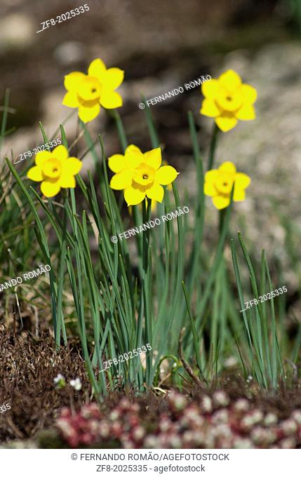 Mountain daffodils at Estrela Mountain Natural Park, Portugal