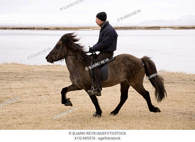 Icelandic horse  South Iceland