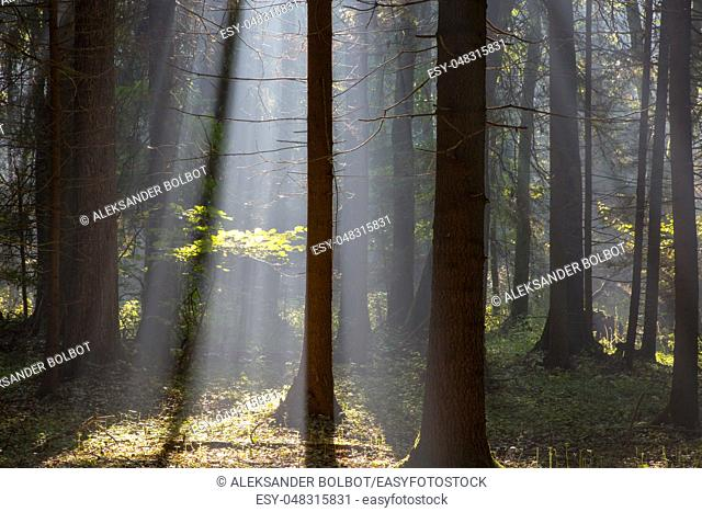 Sunbeam entering rich deciduous forest misty morning with old alder trees in foreground, Bialowieza Forest, Poland, Europe