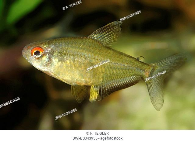 Lemon tetra (Hyphessobrycon pulchripinnis), swimming