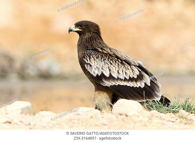 Greater Spotted Eagle, Juvenile standing on the ground, Salalah, Dhofar, Oman (Clanga clanga)