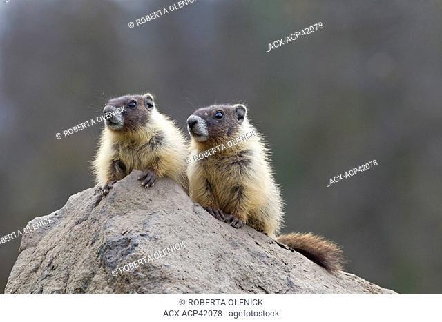 Yellow-bellied marmot Marmota flaviventris, pups, near Tunkwa Provincial Park, British Columbia, Canada